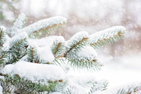 Kiefer im Schneekleid